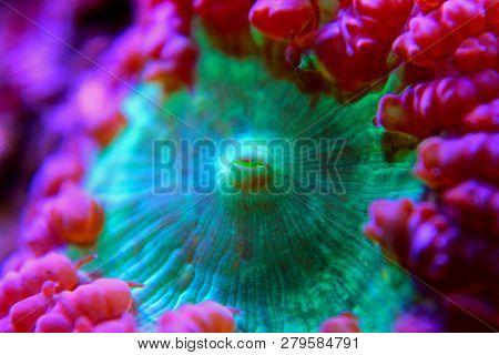 Blastomussa LPS colorful Coral - Blastomussa wellsi