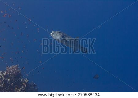 Star Puffer On Coral Reef