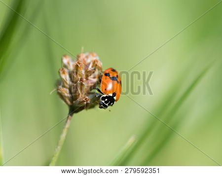 An Adult Asian Ladybeetle (harmonia Axyridis, Coccinellidae) Sitting On A Dry Flower