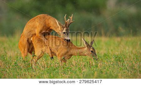 Roe Deer, Capreolus Capreolus, Couple Copulating At Evening Light During Summer Rain.