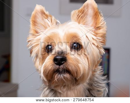 Portrait Yorkshire Terrier Dog Look Camera At Home