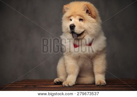 seated chow chow with red bowtie looks to side with blue tongue exposed on grey wallpaper background poster