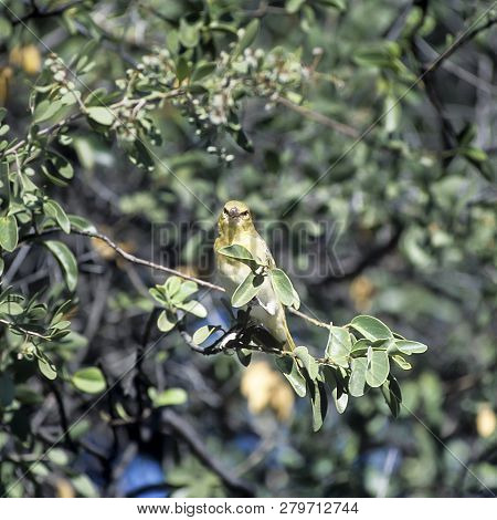 Southern Masked Weaver Or African Masked Weaver (ploceus Velatus) Is A Resident Breeding Bird Specie