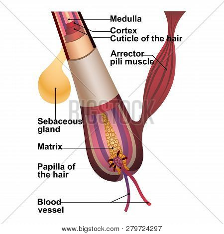 Detailed Explanation Of Hair Structure And Anatomy