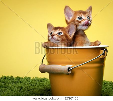 Abyssinian kittens. Age - 1 month