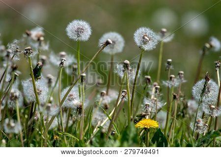 Beautiful White Dandelion Flowers In Green Grass. Meadow With Dandelion Flowers. Field Flowers. Defl