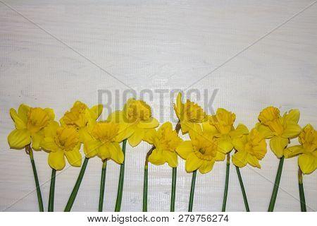 Yellow Daffodils. Daffodils On White Background. Garden Flowers. Yellow Daffodil Flowers On White Ba