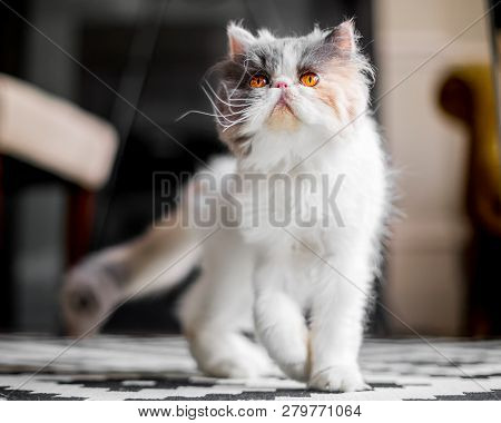 White Grey And Ginger Persian Cat Walking Across A Rug A Persian Cat With Vivid Deep Orange Eyes Yellow Wooden Rug Hiding Tail Long Whiskers Poster Id 279771064