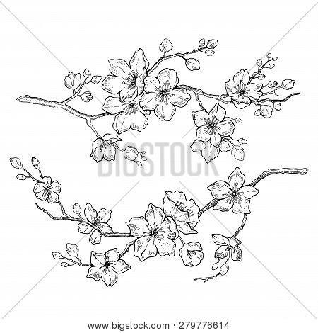 Sakura Flowers Blossom Set, Hand Drawn Line Ink Style. Cute Doodle Cherry Plant Vector Illustration,