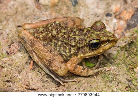 Beautiful Frog Of Borneo, Kinabalu Torrent Frog , Macro Image Of Frog At Broneo.