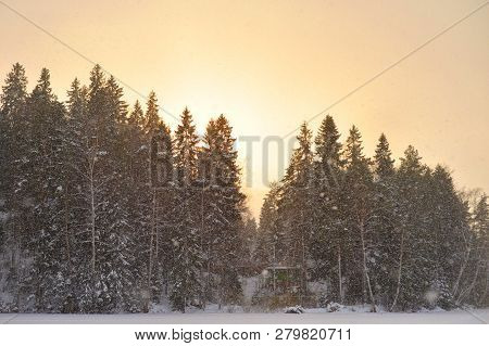 Spruce Winter Forest At Sunset In Karelian Isthmus, Russia.