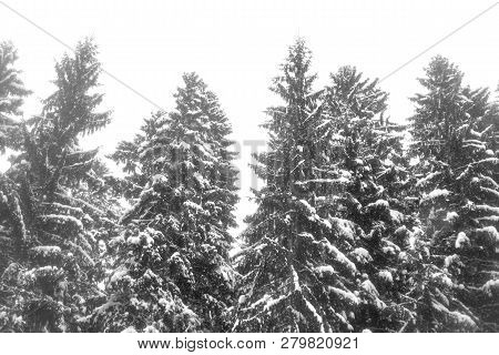 Spruce Trees Covered With Snow In Karelian Isthmus, Russia.