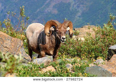 Bighorn Sheep (Ovis canadensis) - Montana