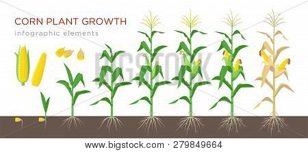 Corn Growing Stages Vector Illustration In Flat Design. Planting Process Of Corn Plant. Maize Growth