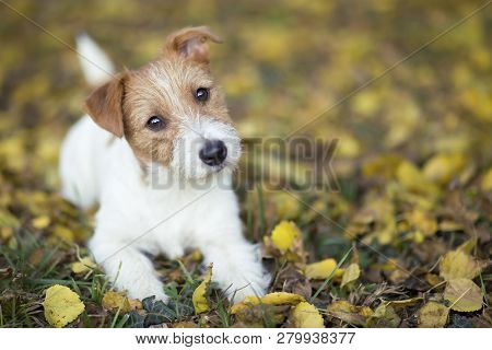 Pet Training Concept - Cute Happy Jack Russell Puppy Dog Looking In The Grass