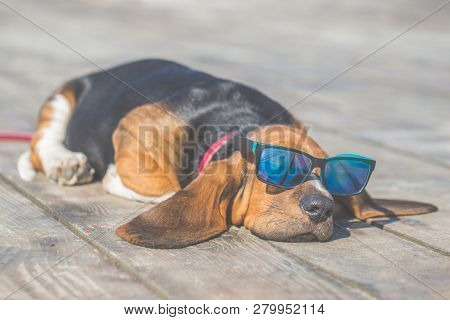 Little Sweet Puppy Of Basset Hound With Long Ears Lying On A Wooden Floor And Rests - Sleeps. Puppy