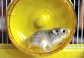 A hamster exercising in a bright spinning wheel poster