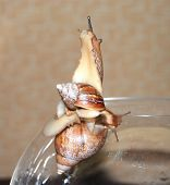 Two wet snails on the aquarium big and small. Close up poster