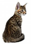 Kitten of the Metis breed ( Bengal + Maine Coon). Age - 2 month. poster