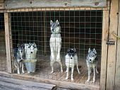 Husky look out from behind the fence enclosure sticking his nose poster