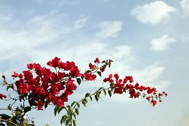 The Blooming Branch Of Red Bougainvillea On The Background Of Sky