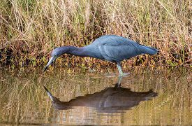 A Little Blue Heron Fishes For Dinner.