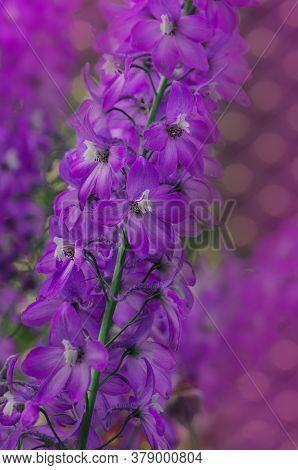 Delphinium Jasmine Flower. Violet Flower Of Delphinium In A Summer Garden