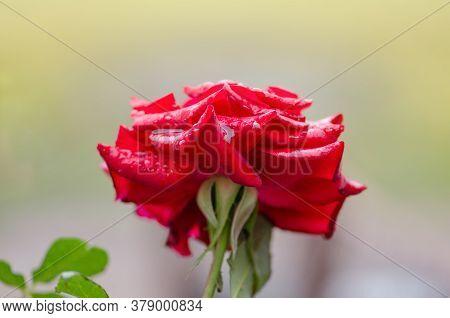 Red Rose Burgund Blooming In Roses Garden