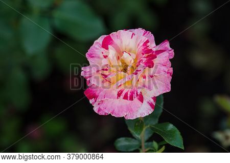 Striped Yellow And Red Flower Of Rose. Striped Hybrid Tea Rose