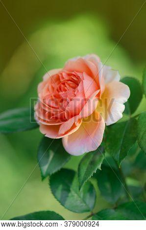 Orange Beautiful Roses On Fresh Green Leaf Background
