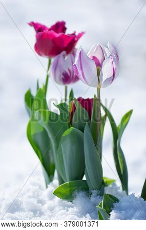 Abnormal Precipitation In The Spring. Tulip Growing Out Of Snow