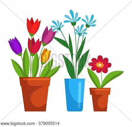 Different Blooming Flower In Ceramic Pot Floristic Set Isolated On White Background. Beautiful House