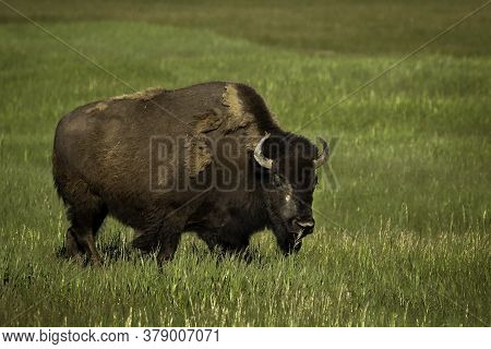 Bison Buffalo Standing In Green Grass Staring At You During The Summer Season