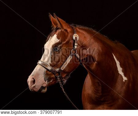 Portrait Of A Pinto Chestnut With White Blaze And Mark Horse And Blue Eyes Isolated On Black Backgro