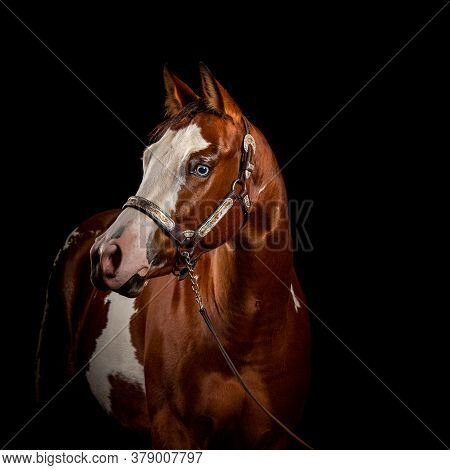 Portrait Of A Pinto Chestnut And White Horse With White Blaze And Blue Eyes Isolated On Black Backgr