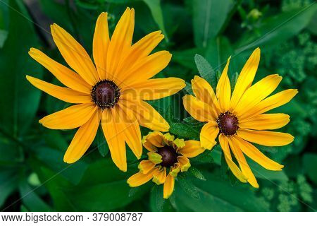 Close Up: Three Flowers Of Rudbeckia Yellow Are Blooming In A Flowerbed In The Garden, Against A Bac