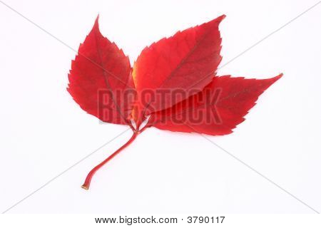Red Leafs