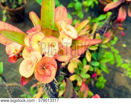 Best Euphorbia Flowers With Skin Tone And Color Shaded Leaves.the Flowers Have Red Shades On It.the