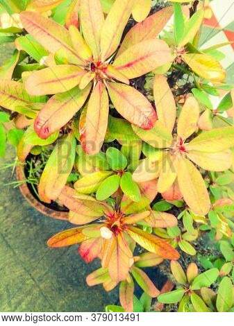 A Top Angle View Of Euphorbia Flower Plant With Color Shaded Leaves.the Leaves Have Red And Green Sh
