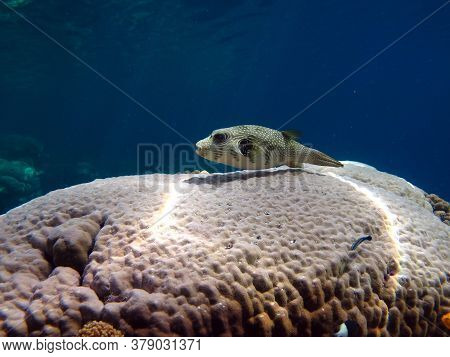 Arotnron Fish. Fishes - A Type Of Bone Fish Of The Osteytnes Pufferfish (tetraodontidae) Spiny Puffe