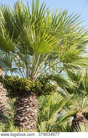 Palm Trees With Woody Trunk, Palm Fronds And Seeds - Close-up