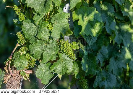 Close-up Of Growing Riesling Wine Grapes With Leaves On River Moselle