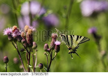 Swallow Tail Butterfly, Papilio Machaon, Takes Nectar From Thistle Blossom