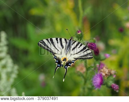 Sail Swallowtail Butterfly, Iphiclides Podalirius, Takes Nectar From Thistle Blossom