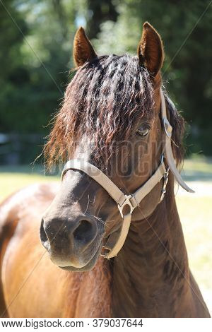 Headshot Of A Beautiful Stallion. Adult Morgan Horse Standing In Summer Corral Near Feeding Station