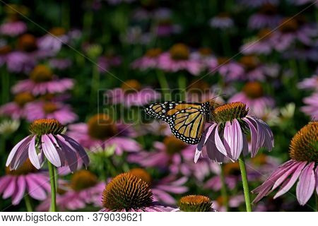 Monarch Butterfly In A Sea Of Echinacea Flowers. The Monarch Is A Milkweed Butterfly In The Family N