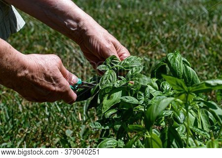 Harvesting Basil By Hand In The Garden On A Sunny Day.  Also Called Great Basil It Is A Culinary Her