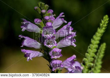 Obedient Plant, Obedience Or False Dragonhead In Morning Light. It Is A Species Of Flowering Plant I
