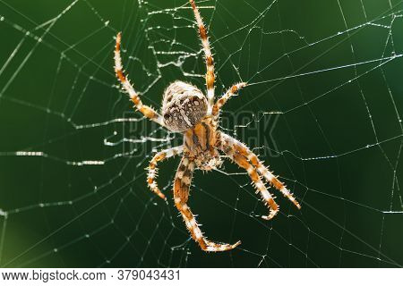 European Garden Spider, Diadem Spider, Orangie, Cross Spider Or Crowned Orb Weaver In Its Web Close