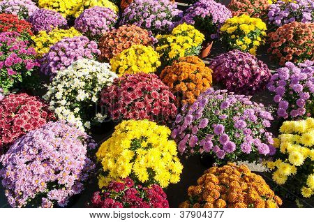 Background with beautiful colorful potted chrysanthemums smiling in the late summer afternoon sunshi